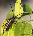 Lophalia? - Sphaenothecus bilineatus