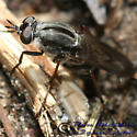 Fly 01 - Ozodiceromyia notata - female