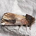 Chestnut Schizura - Hodges#8006 - Schizura badia