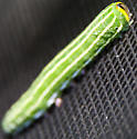 Green striped CAT - Lapara bombycoides