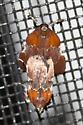 Brown Flower Moth (Schinia saturata) ? - Galasa nigrinodis - male - female