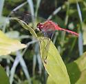 White-Faced Meadowhawk - Sympetrum obtrusum