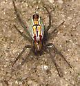Basilica Orbweaver - Mecynogea lemniscata - female