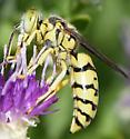 white-faced wasp - Steniolia