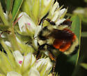 Tricolored Bumble Bee, abdomen - Bombus ternarius