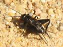 Cricket 6 - Gryllus veletis - male