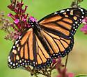 Monarch? - Danaus plexippus