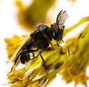 Ripiphorus - male
