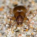 Likely Dyschirius...but what species? - Akephorus marinus