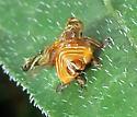 Clastoptera - Clastoptera arborina