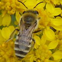 Unidentified bee - Colletes - female