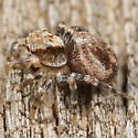 Jumping spider with tiny prey - Naphrys pulex