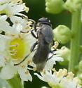 hover fly - Myolepta