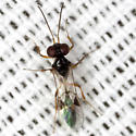 Ichneumon Wasp - Allophrys divaricata - male