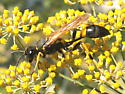 What kind of paper wasp? - Sceliphron caementarium