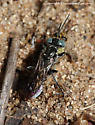 Wasp - Tachysphex - female