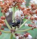 Ant-tended Spring Azure 2 - Celastrina ladon