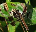 Common Whitetail - Plathemis lydia - female