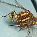 Ashy Clubtail - Phanogomphus lividus - male