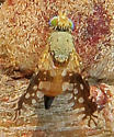 Euaresta bellula? - Euaresta - female