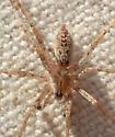 A. californica male - Anyphaena californica - male