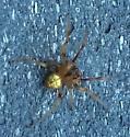 Araneus sp.? - Araneus thaddeus