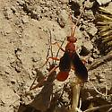 Red Wasp - Ageniella coronata
