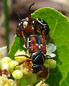 Trigonopeltastes floridana? - Trigonopeltastes floridanus