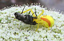 Yellow crab spider eating a horse fly? - Misumena vatia