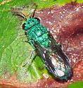 Chrysidinae