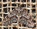 Moth - Cladara limitaria