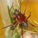 Hacklemesh Weaver from Seattle Bug Day - Callobius severus - male