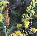 Caterpillars on Goldenrod  - Apatelodes pudefacta