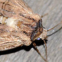 Brown moth with double lines - Dichagyris grotei