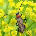 Longhorned Beetle - Callimoxys sanguinicollis - female
