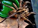 Hogna carolinensis Pedipalp - Hogna carolinensis - male