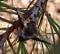 Bee Fly sp. (?) - Bombylius major