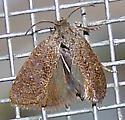 Acrolophus (Tubeworm Moath) - Acrolophus