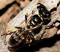 Crabronidae Crossocerus nitidiventris  - Crossocerus nitidiventris