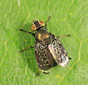 Signal Fly - Amphicnephes pullus - male