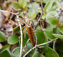 Unidentified crane fly, St. Paul Island, Alaska - Tipula carinifrons - female