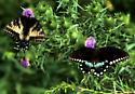 Swallow-tails - Papilio