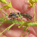 Bagrada Bug - Bagrada hilaris - male - female