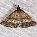 Florida Tetanolita Moth - Tetanolita floridana