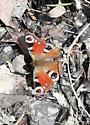 European Peacock butterfly Aglais Io    - Aglais io
