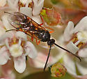 Braconid? on milkweed - male