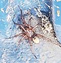 Large Spider - Antrodiaetus