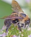 Bee - Bombus griseocollis