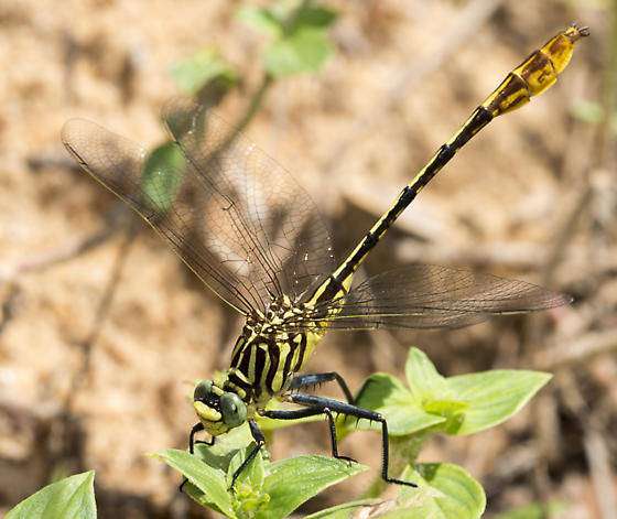 second green dragonfly - Dromogomphus armatus