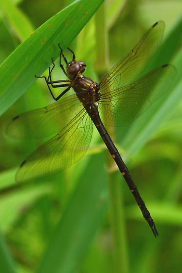 Emerald - Somatochlora linearis - female